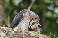 sharp-shinned-hawk