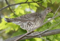 sooty-grouse