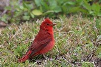 summer-tanager