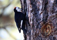white-headed-woodpecker