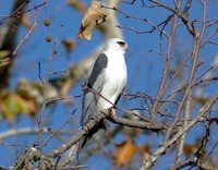 white-tailed-kite