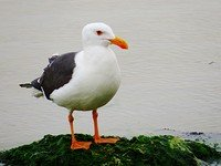 yellow-footed-gull