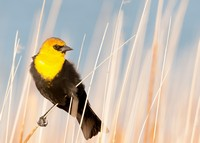 yellow-headed-blackbird