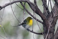 yellow-throated-vireo