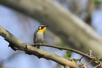 yellow-throated-warbler