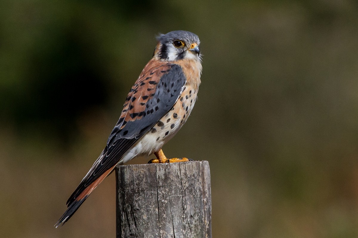 American kestrel - song / call / voice / sound.