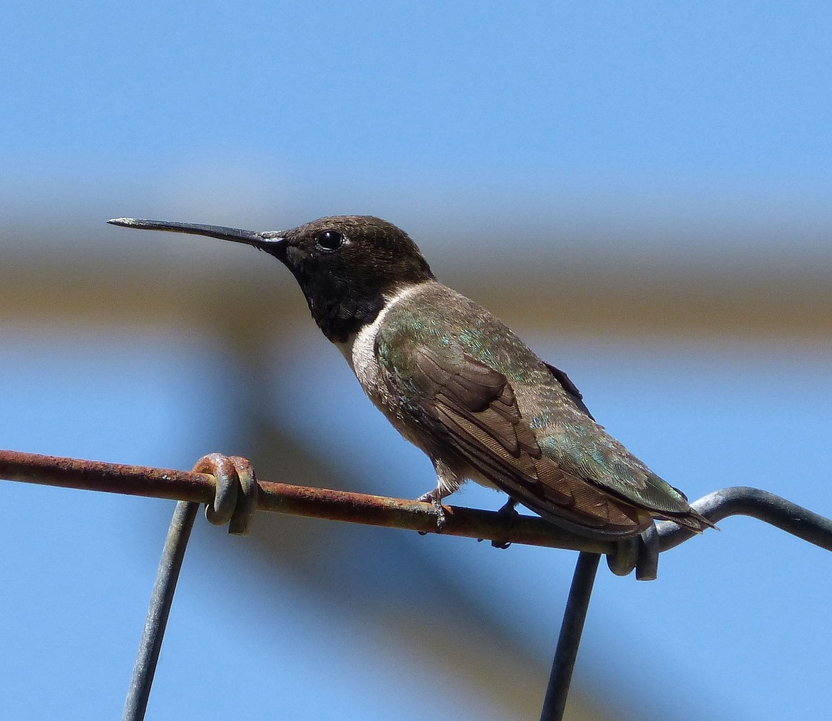 Black-chinned hummingbird - song / call / voice / sound.