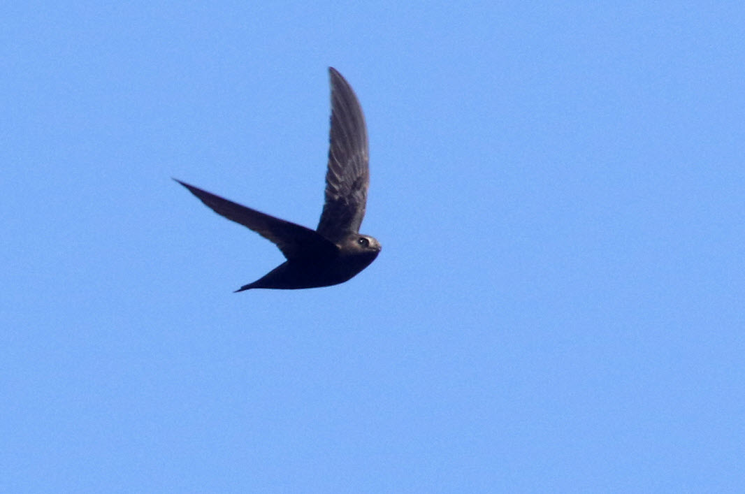 Black Swift Song Call Voice Sound