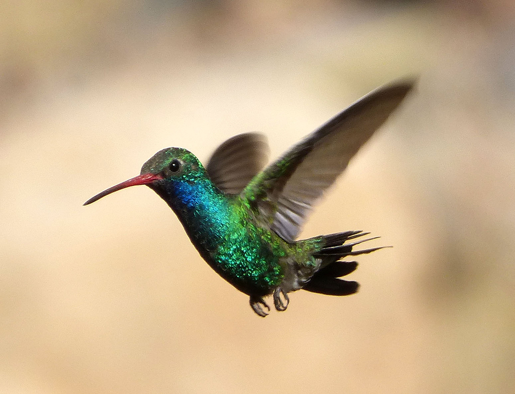 Broad Billed Hummingbird Song Call Voice Sound