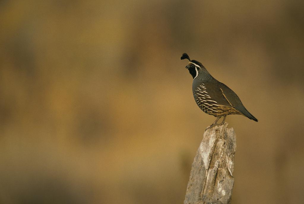 california quail song call voice sound