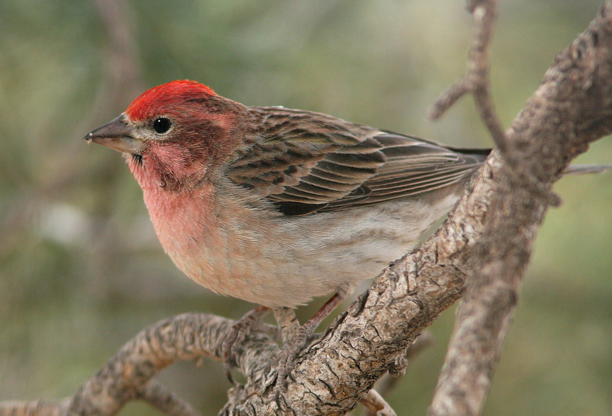 Cassin's finch - song / call / voice / sound.