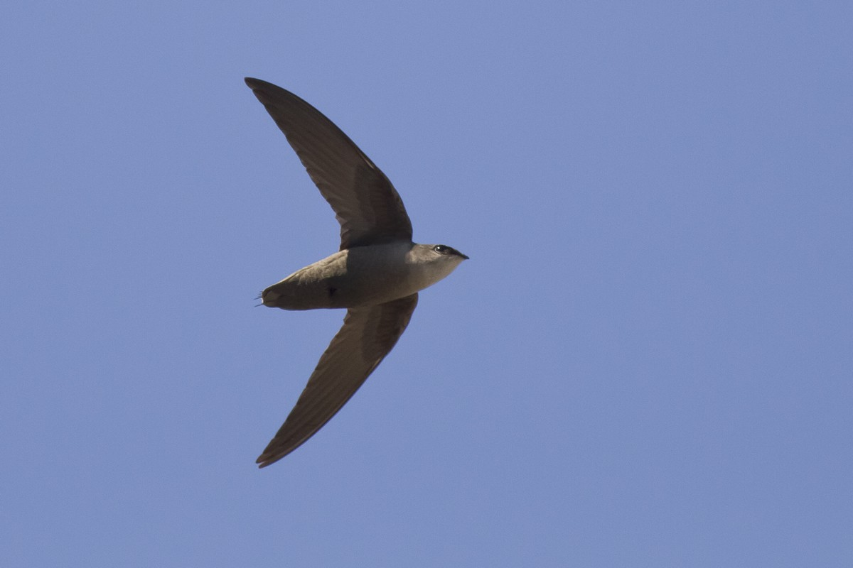 Chimney Swift Song Call Voice Sound