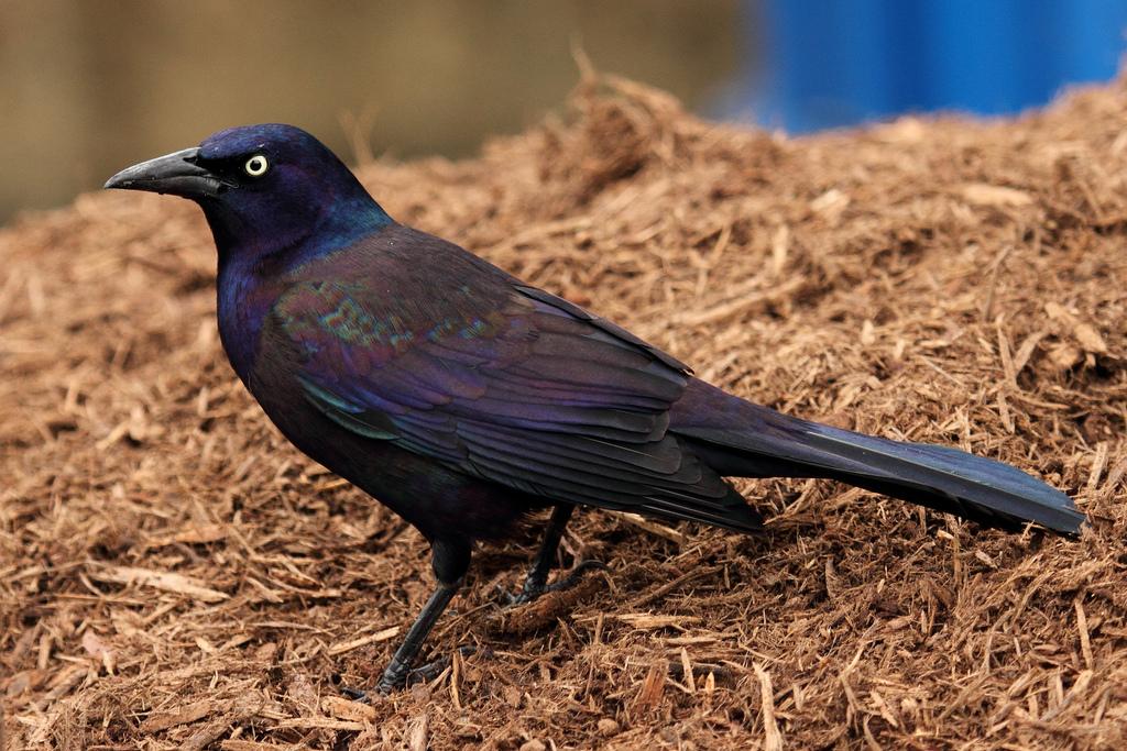 Image Result For Grackle Bird
