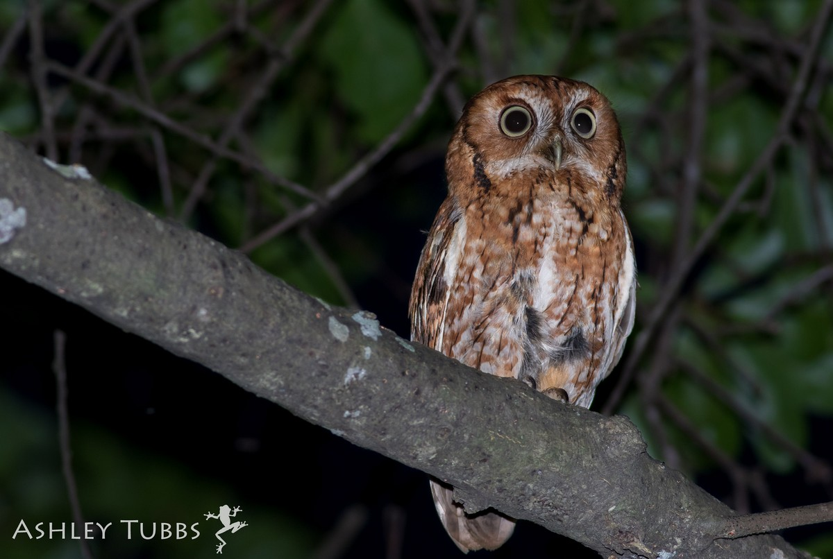 ♫ Eastern screech owl - song / call / voice / sound