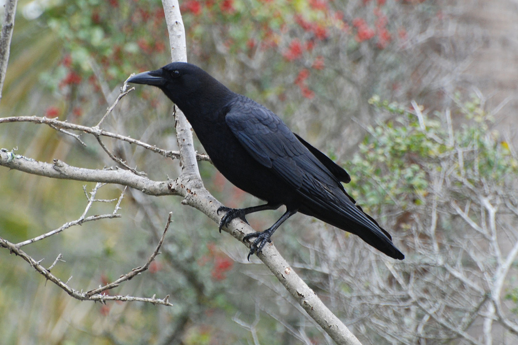 Fish crow song call voice sound for Fish crow call