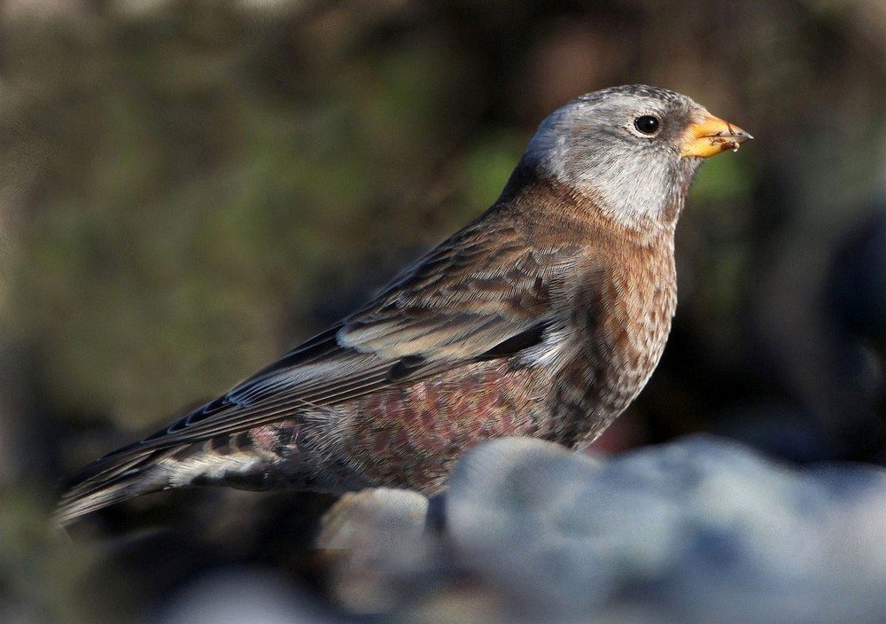 Gray-crowned rosy finch - song / call / voice / sound.