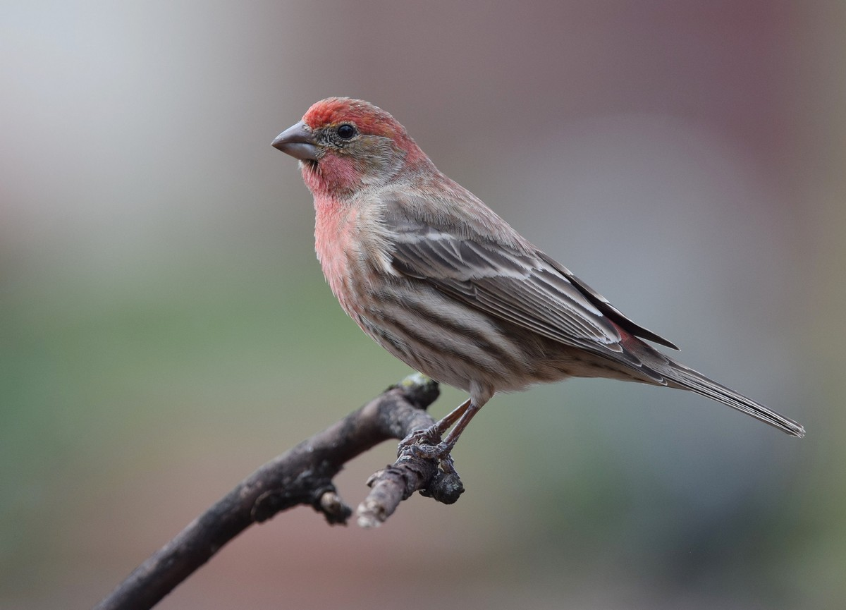 House finch - song / call / voice / sound.