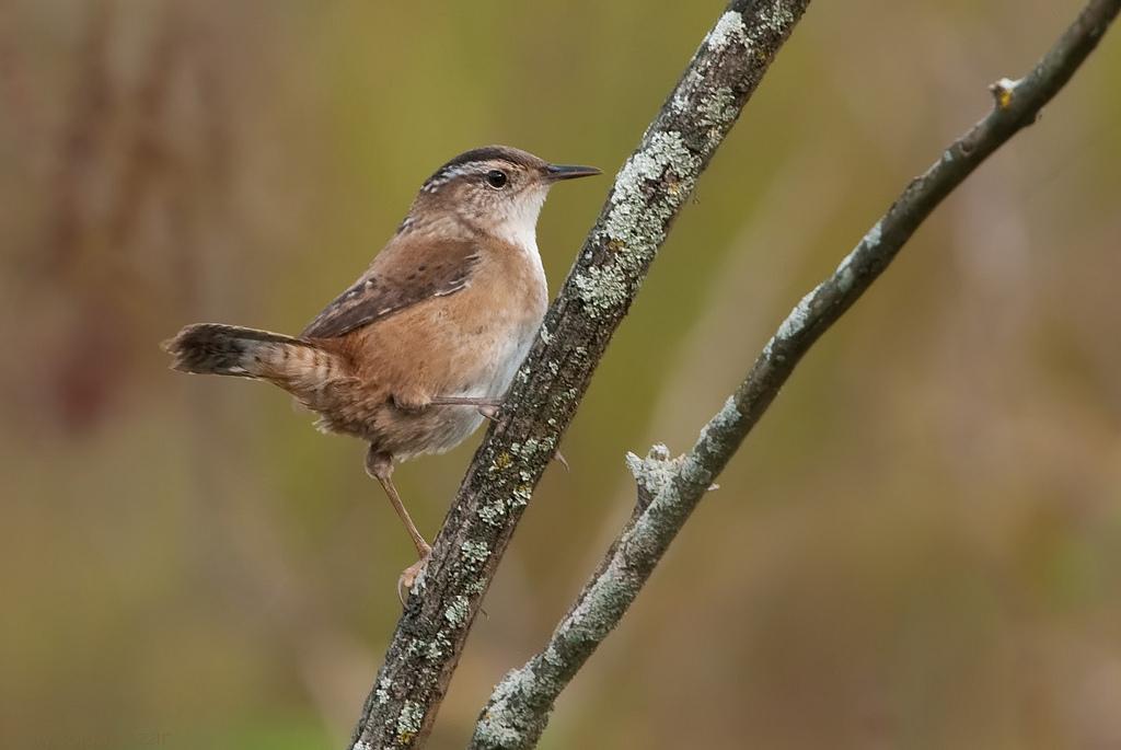 Marsh wren - song / call / voice / sound.