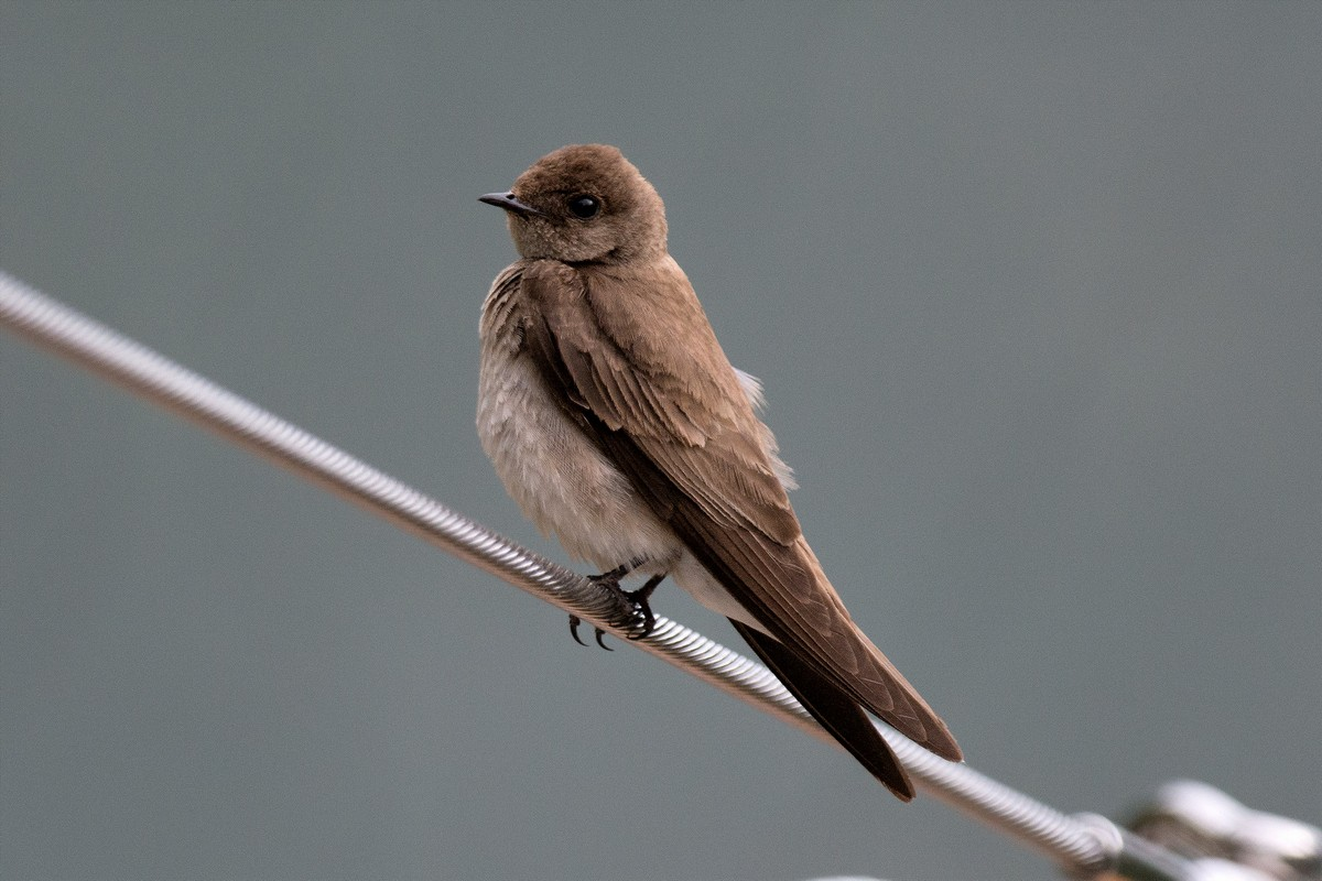 Northern Rough Winged Swallow Song Call Voice Sound