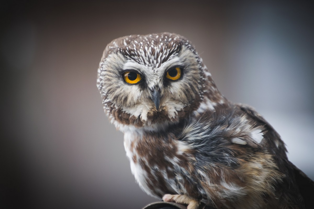 Northern Saw Whet Owl Song Call Voice Sound