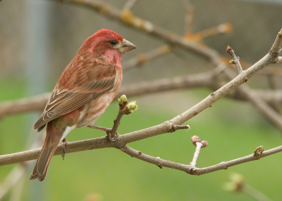 Purple finch - song / call / voice / sound.
