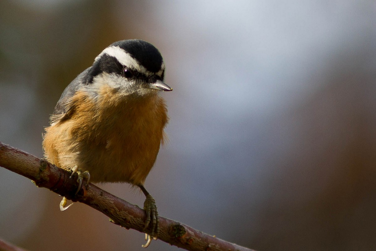 The BrownHeaded Nuthatch