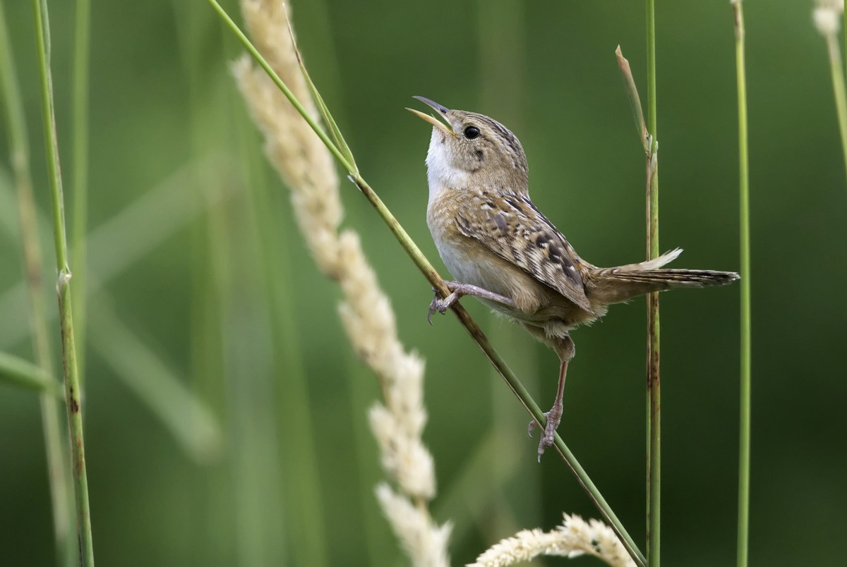 Best 28 wren bird call house wren songs and calls for Why is house music called house